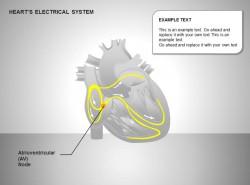 心电系统房室结图示说明