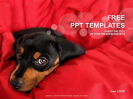 床上的寵物狗PPT模板下載